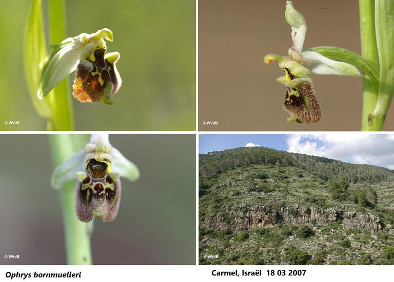 ophrys bornmuelleri 2
