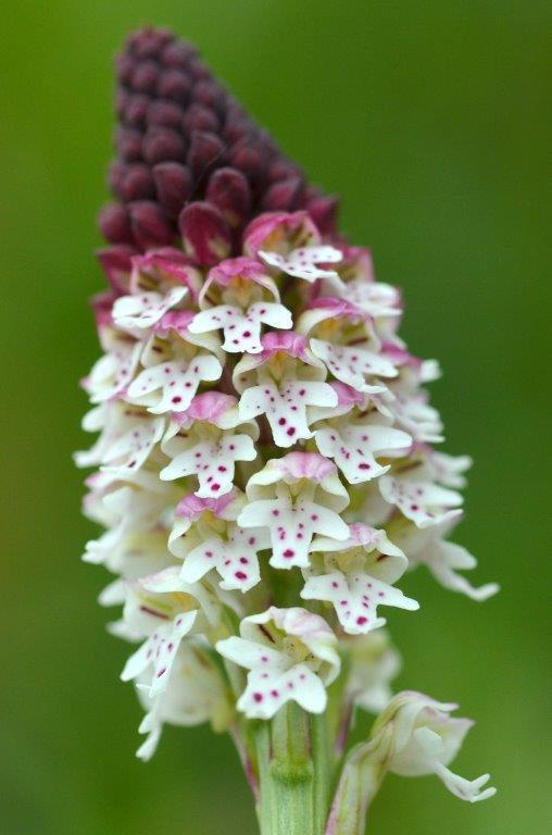 <i>Neotinea ustulata</i>