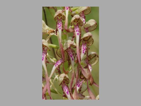 Plant in de kijker : <i>Himantoglossum hircinum</i>