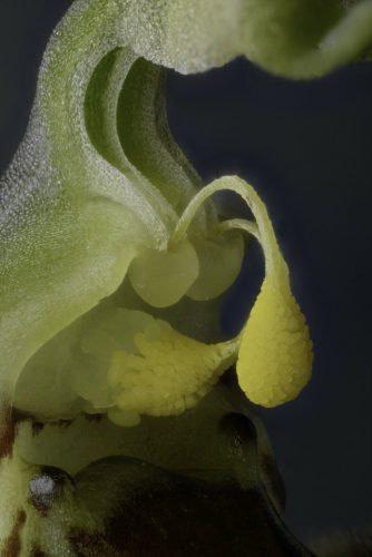 ophrys apifera jac kleynen