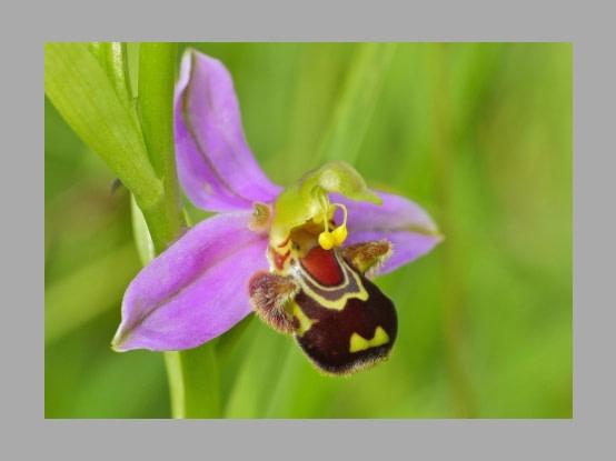 Lees meer over het artikel Plant in de kijker : <i> Ophrys apifera</i>