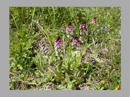 Lees meer over het artikel Plant in de kijker : <i>Neotinea ustulata</i>