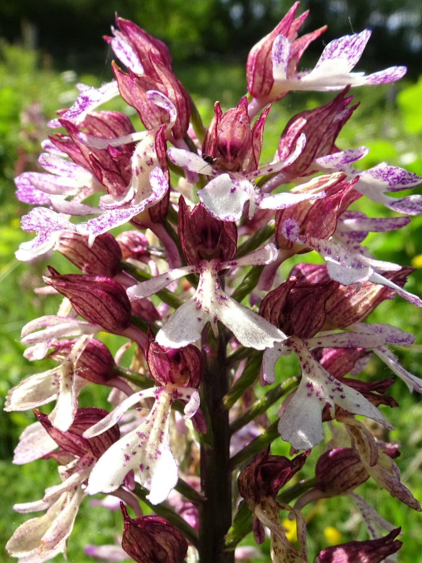 <i>Orchis x hybrida</i>