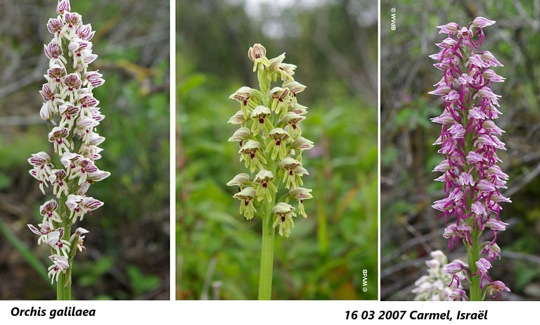 orchis galilaea 2