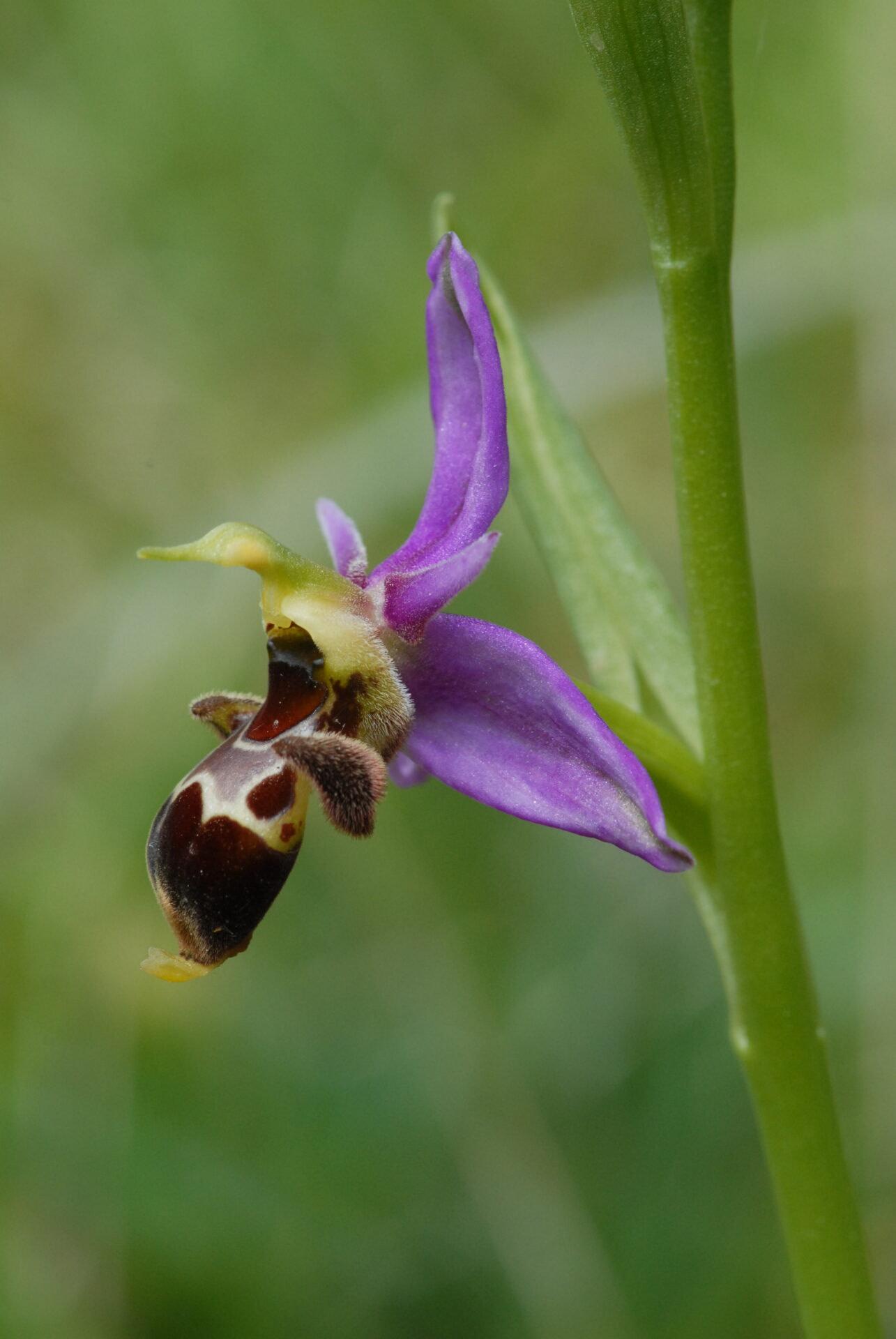 <i>Ophrys scolopax</i>