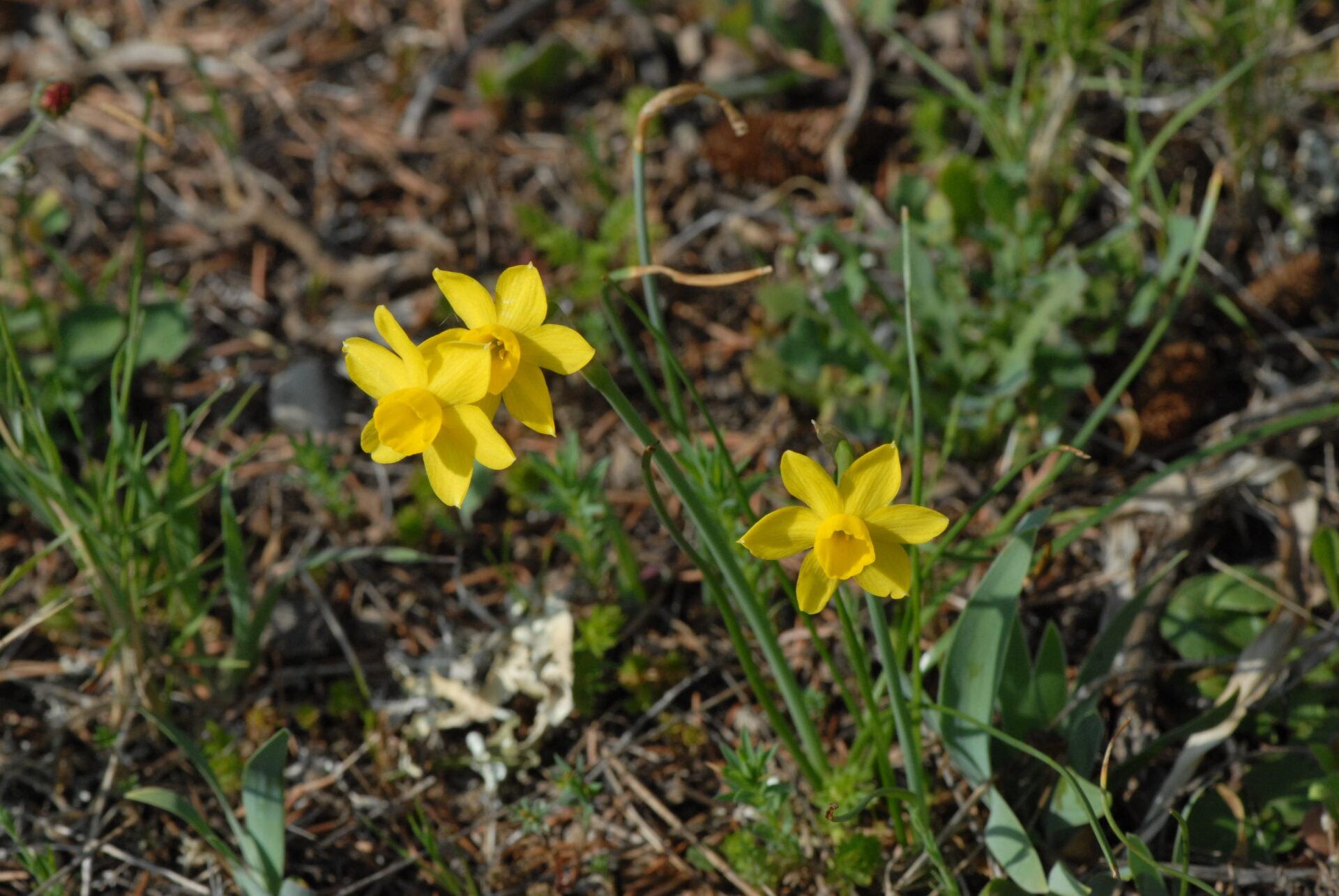 <i>Narcissus requienii</i>