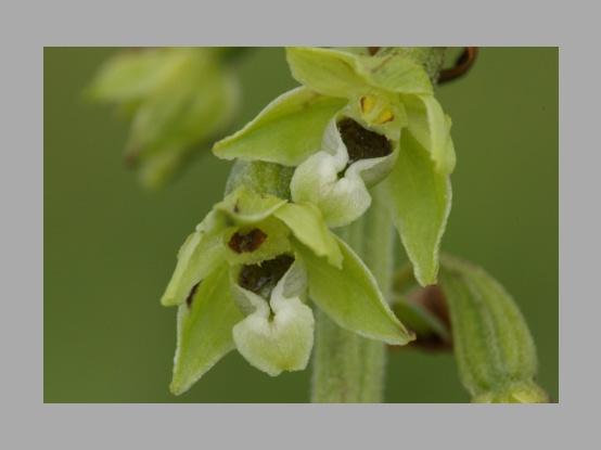 Lees meer over het artikel <i>Epipactis dunensis</i> en zijn ondersoorten door Walter Van den Bussche
