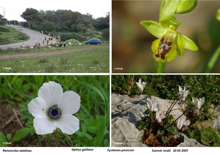 ophrys galilaea