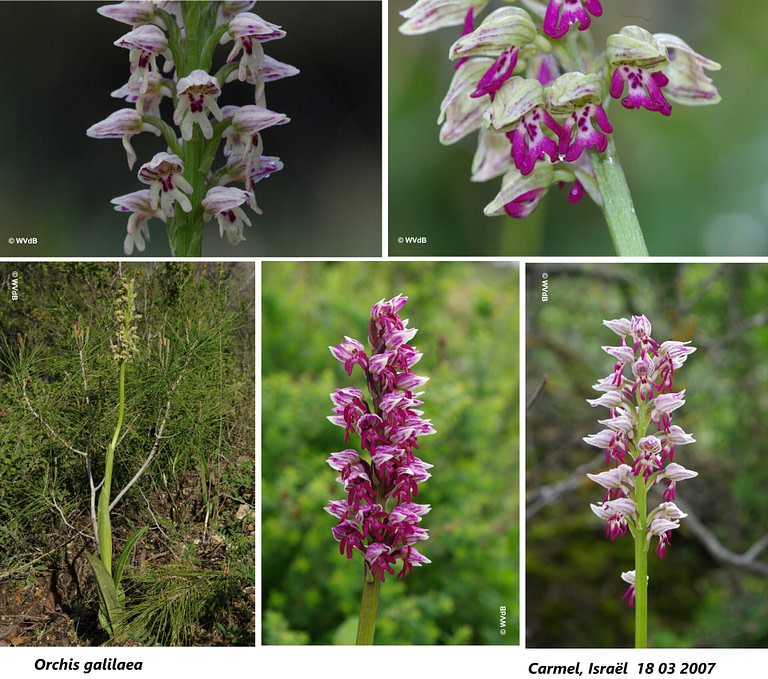 orchis galilaea 3