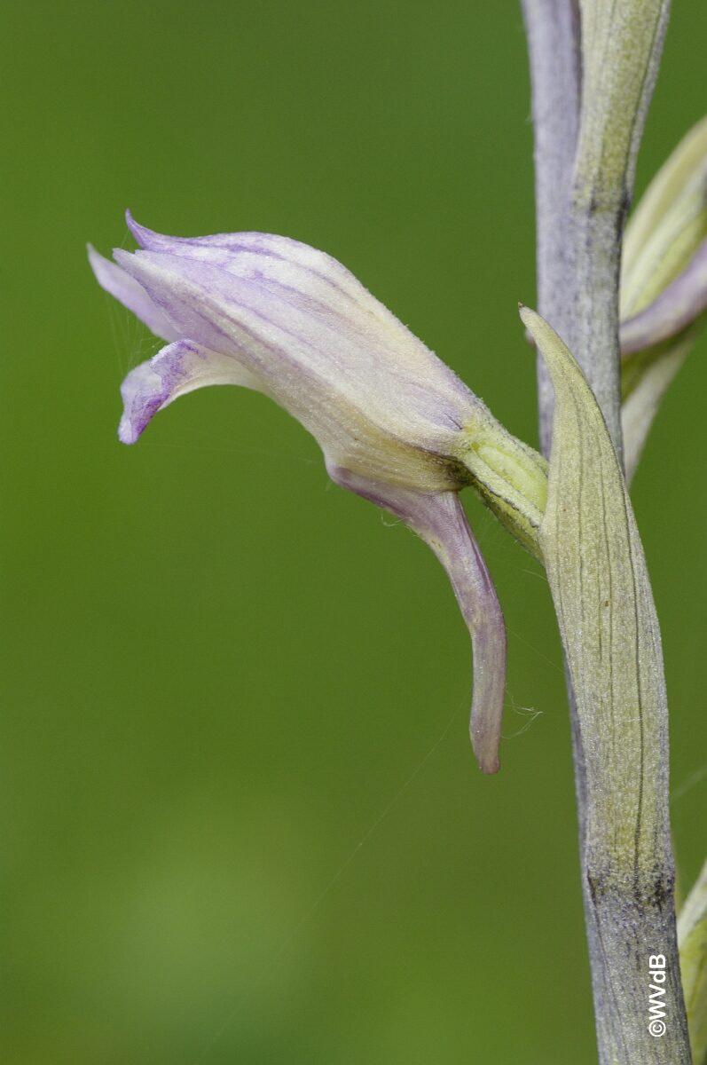 <i> Limodorum abortivum</i>