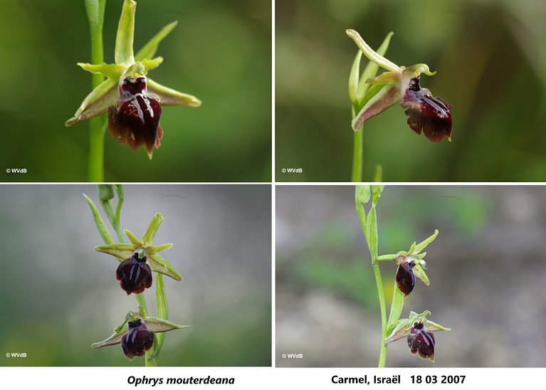 ophrys mammosa mouterdeana 2