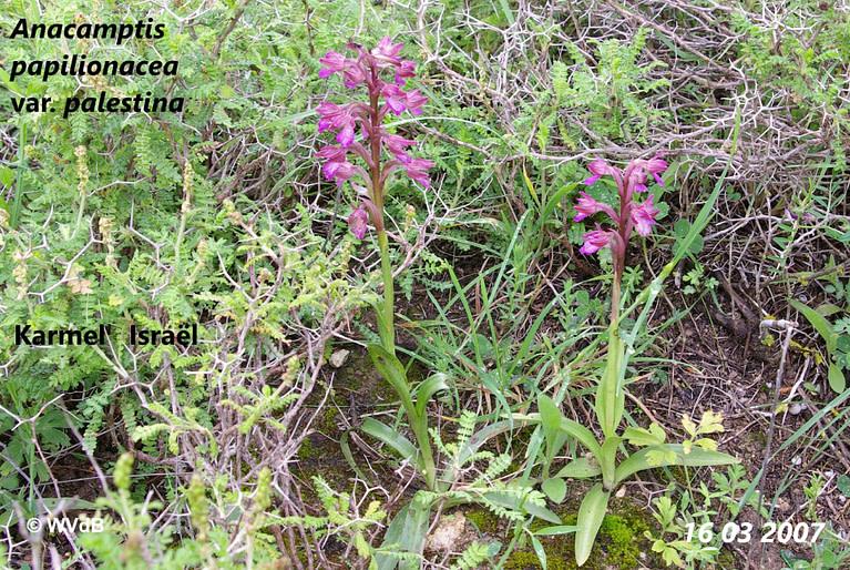 anacamptis papilionacea palestinae 1