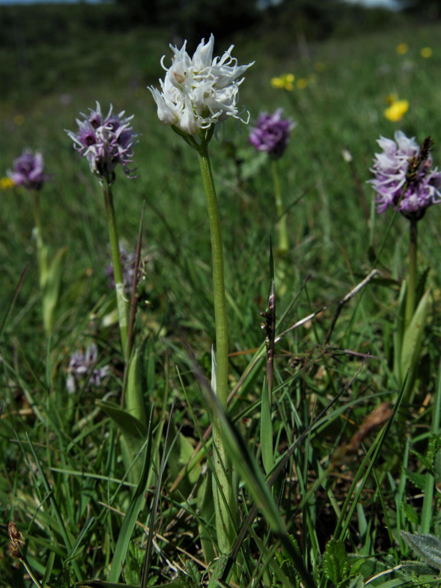 <i>Orchis simia</i>