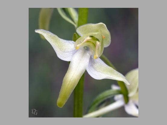 Lees meer over het artikel Plant in de kijker : <i>Platanthera chlorantha</i>