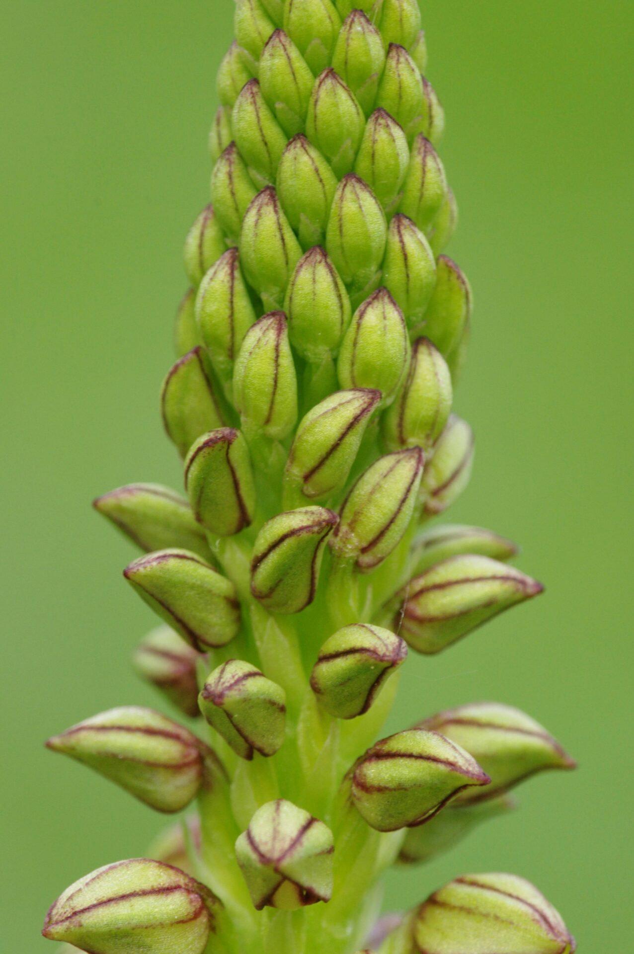 <i>Orchis anthropophora</i>