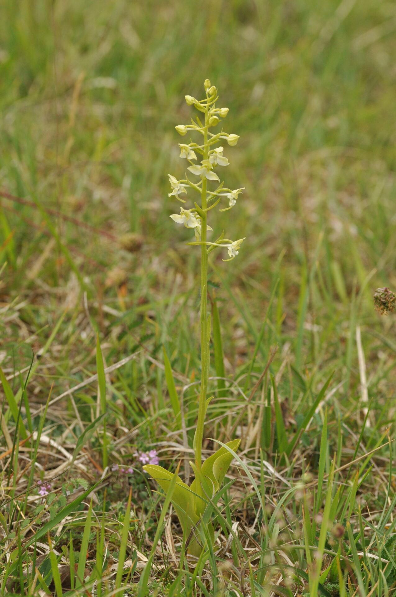 Bergnachtorchis <i>Platanthera chlorantha</i>
