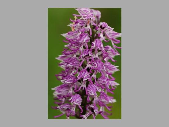 Lees meer over het artikel Plant in de kijker : <i>Orchis simia</i>