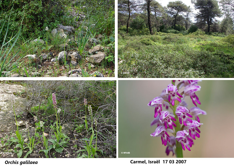 orchis galilaea 1